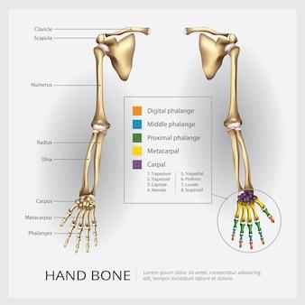 Ilustração de braço e osso de mão