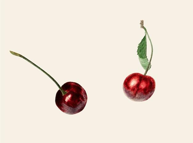 Ilustração de cerejas vintage
