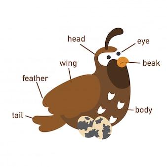 Ilustração, de, codorniz, vocabulário, parte, de, body.vector