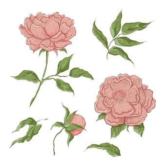 Ilustração de cor flores desenhadas à mão. gravura de imitação. peônia florescendo com um botão aberto e fechado, folhas e galhos.