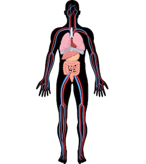 Ilustração, de, corpo humano, anatomia