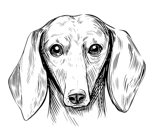 Ilustração de dachshund. ilustração desenhada à mão isolada no branco