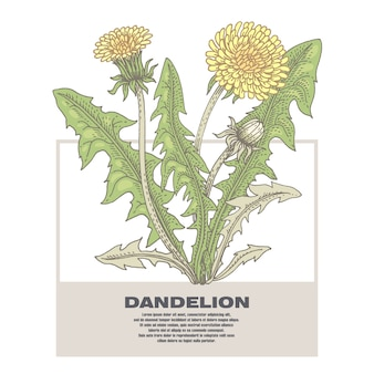 Ilustração de dente de leão de ervas medicinais.