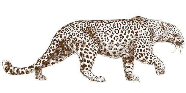 Ilustração de desenho de gravura de periquito-leopardo