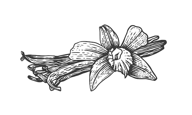 Ilustração de desenho vetorial de palitos de baunilha e flores. erva de cozinha desenhada à mão