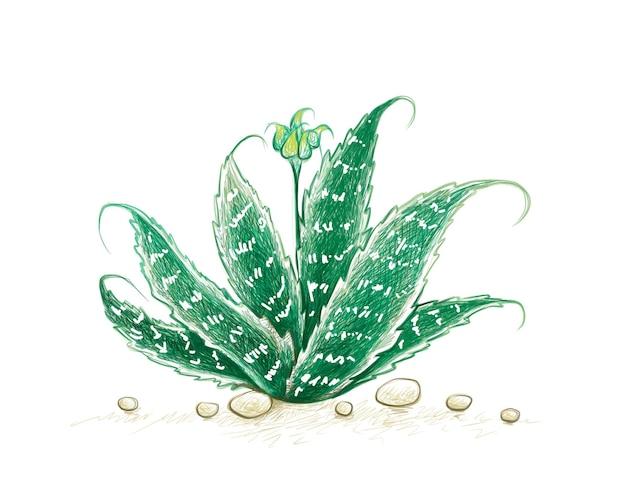 Ilustração de ervas e plantas desenhada à mão de aristaloe aristata lace aloe ou planta guineafowl aloe