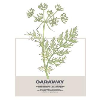 Ilustração de ervas medicinais alcaravia.