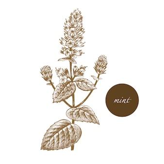 Ilustração de ervas medicinais - hortelã.