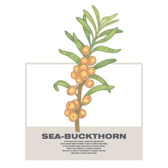 Ilustração de ervas medicinais mar-espinheiro cerval.
