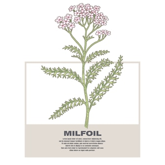 Ilustração de ervas medicinais milfoil.