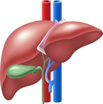 Ilustração de fígado humano e vesícula biliar