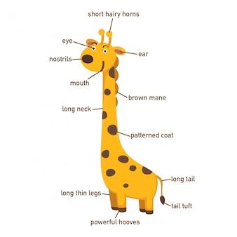 Ilustração, de, girafa, vocabulário, parte, de, body.vector