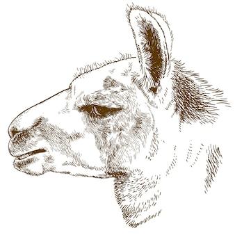 Ilustração de gravura da cabeça do lama