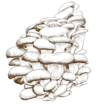 Ilustração de gravura de cogumelo ostra