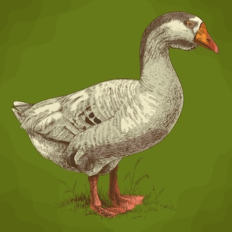 Ilustração de gravura de ganso grande