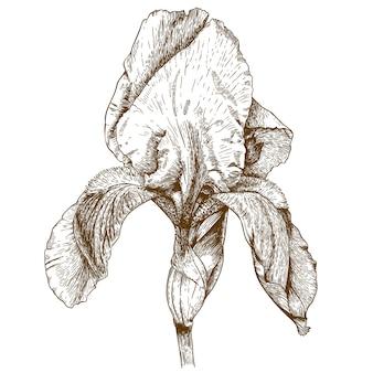 Ilustração de gravura de íris
