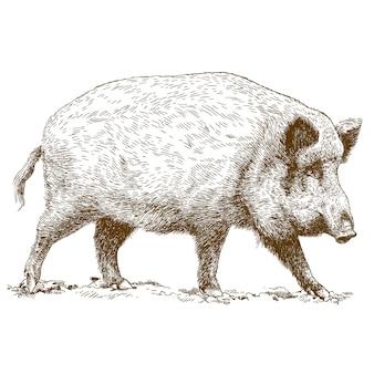 Ilustração de gravura de javali