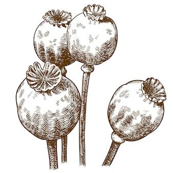 Ilustração de gravura de quatro cápsulas de papoula
