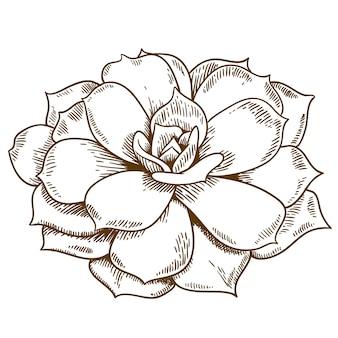 Ilustração de gravura de suculenta