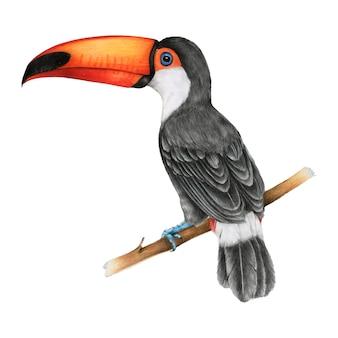 Ilustração, de, hornbills, pássaro, aquarela, estilo