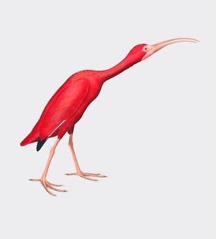 Ilustração de ibis escarlate