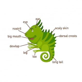 Ilustração, de, iguana, vocabulário, parte, de, body.vector
