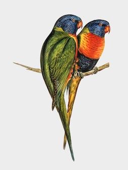Ilustração de lorikeet