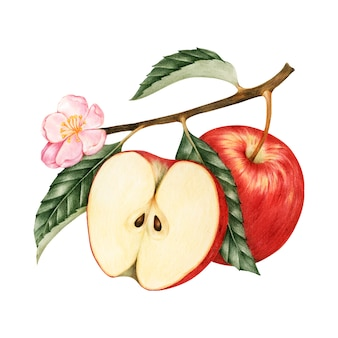 Ilustração, de, maçã vermelha
