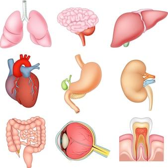 Ilustração, de, órgãos internos, anatomia