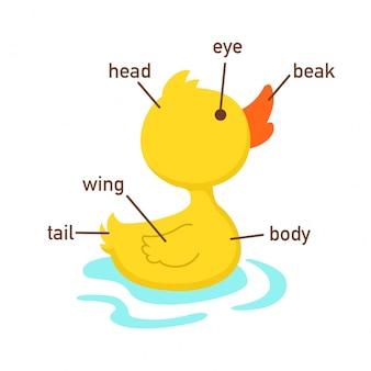 Ilustração, de, pato, vocabulário, parte, de, body.vector