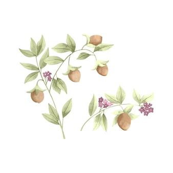 Ilustração de planta de jojoba em aquarela