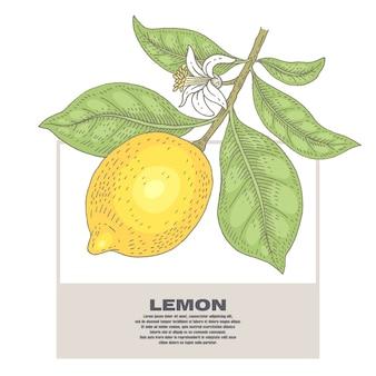 Ilustração de plantas de limão.