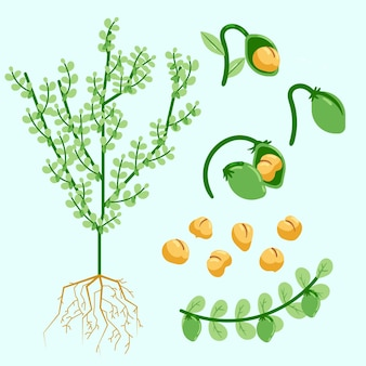 Ilustração de plantas e feijão-de-bico desenhados à mão