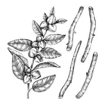 Ilustração de plantas medicinais e raízes esboçadas à mão
