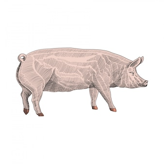 Ilustração de porco, mão estilo gráfico desenhado, gravura colorida desenho desenho ilustração
