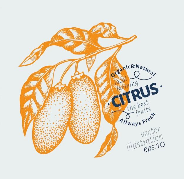 Ilustração de ramo de kumquat.