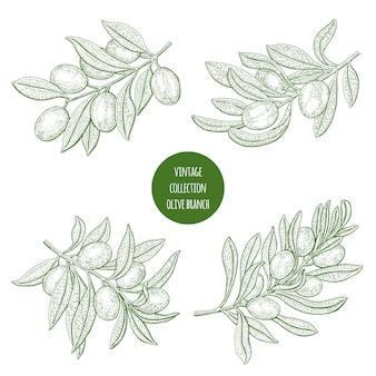 Ilustração de ramos de oliveira