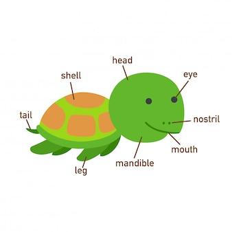 Ilustração, de, tartaruga, vocabulário, parte, de, body.vector