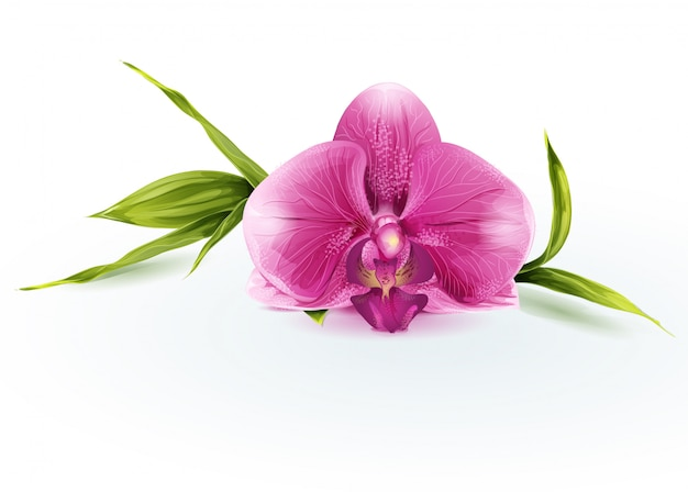 Ilustração de uma orquídea rosa