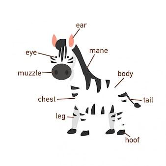 Ilustração, de, zebra, vocabulário, parte, de, body.vector