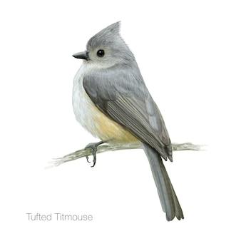 Ilustração detalhada do pássaro do titmouse