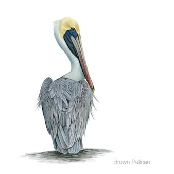 Ilustração detalhada do pelicano castanho