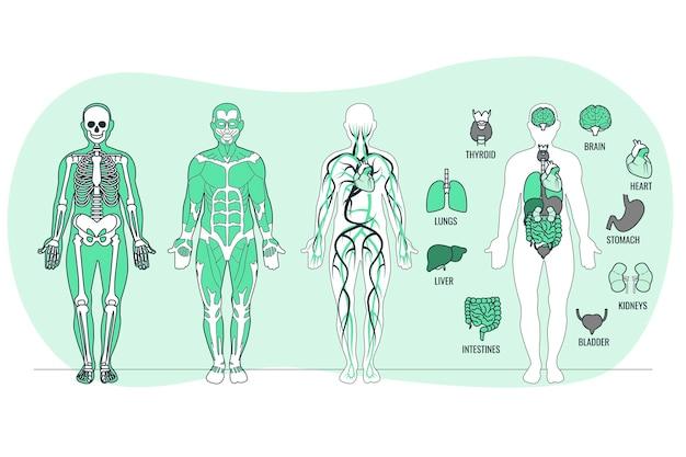 Ilustração do conceito de anatomia corporal