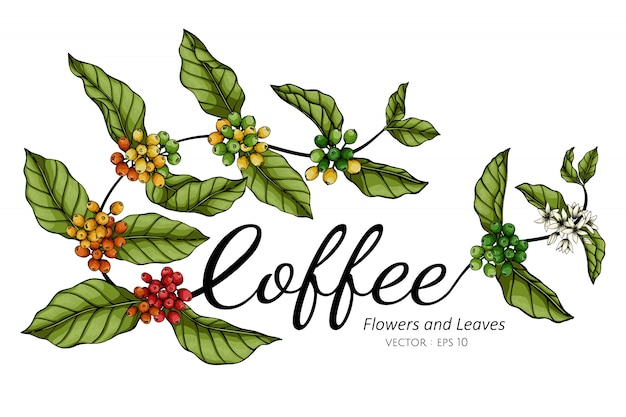 Ilustração do desenho da flor e da folha do café com linha arte nos fundos brancos.