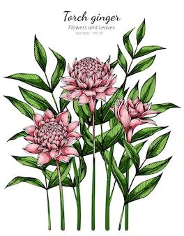 Ilustração do desenho da flor e da folha do gengibre da tocha cor-de-rosa com linha arte nos fundos brancos.