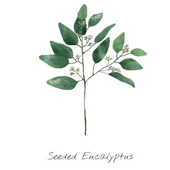 Ilustração do eucalipto isolada no fundo branco.