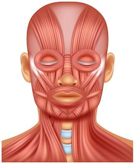 Ilustração do músculo da cabeça humana