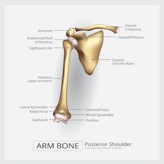 Ilustração do vetor de osso do braço do ombro