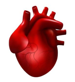 Ilustração do vetor do coração humano realista. modelo 3d de cardiologia isolado no fundo branco. coração vermelho, órgão interno, ícone de anatomia.