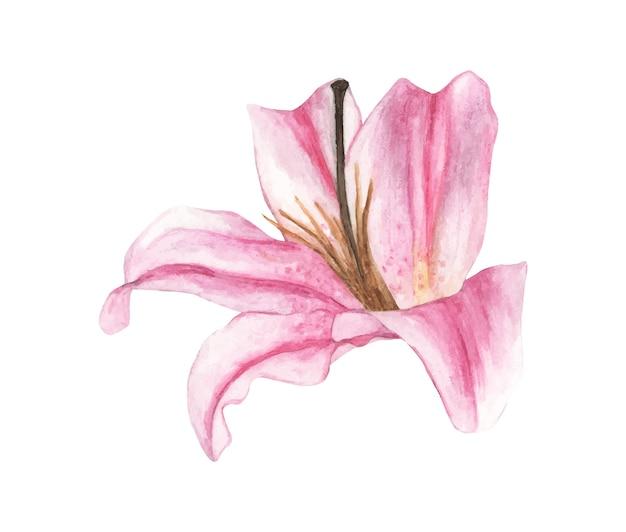 Ilustração em aquarela de lírio rosa
